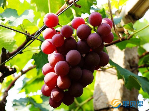葡萄转色期用什么肥料好?李大哥反馈