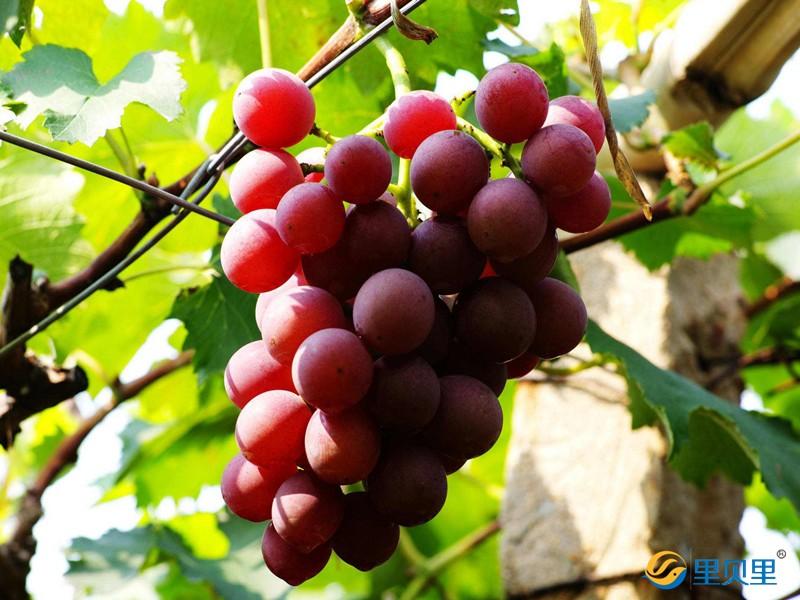 葡萄转色期用什么肥料好