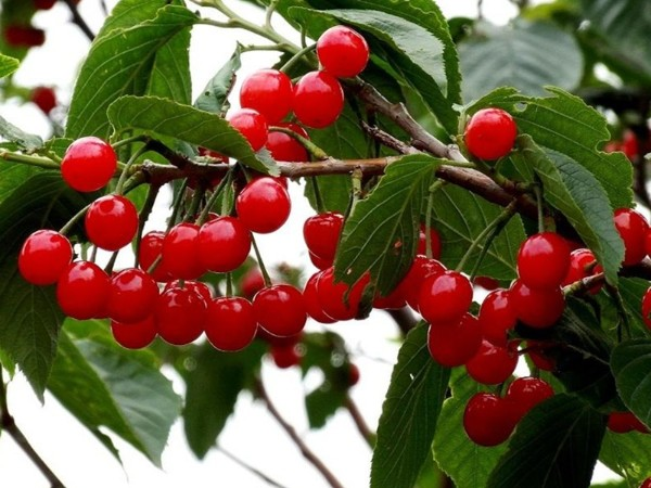 硼肥在樱桃上使用效果