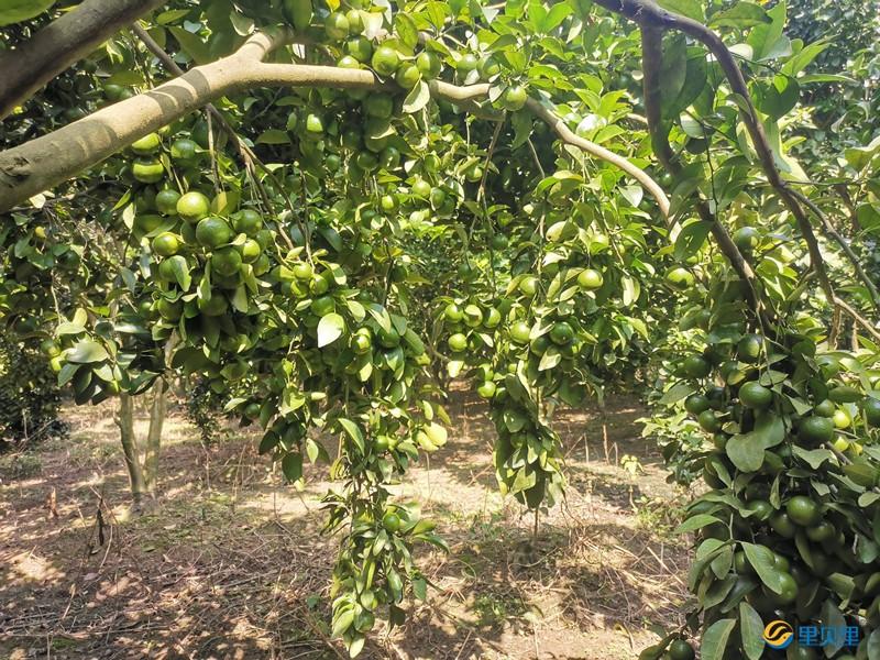 里贝里水溶肥在柑橘上使用