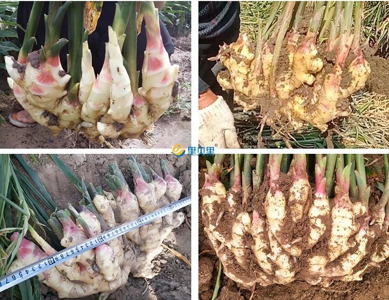大姜高产全程施肥办法