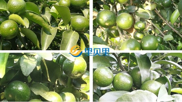 柑橘裂果怎么处理?柑橘用什么肥料更甜?