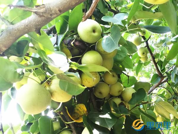 梨树膨大肥选哪家?还是以色列荷兰双技术有保障