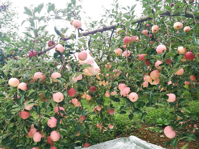 水溶肥宴沃在苹果上的效果