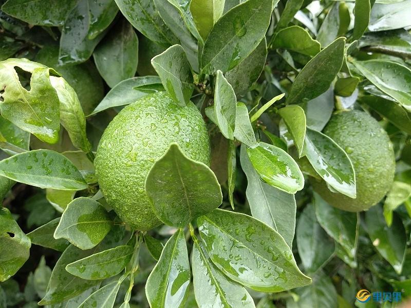 水溶肥生产厂家-脐橙使用宴沃水溶肥效果