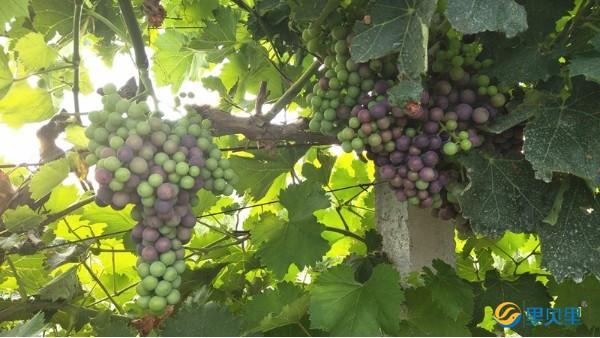 葡萄全年施肥方案,种植小白看过来!