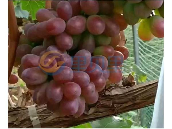 葡萄成熟期-宴沃