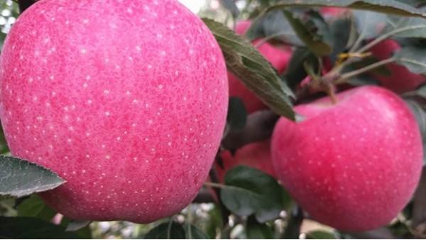 生根剂怎么用?能让苹果高产?