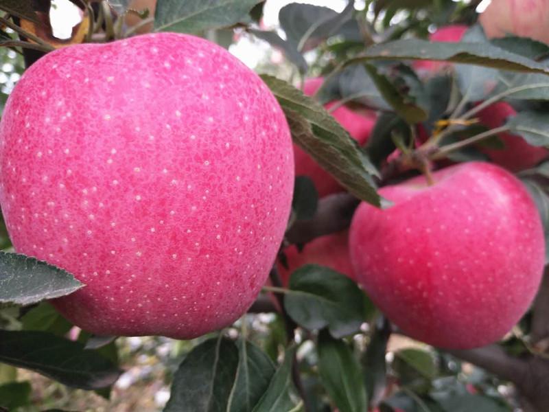 生根剂怎么用-苹果