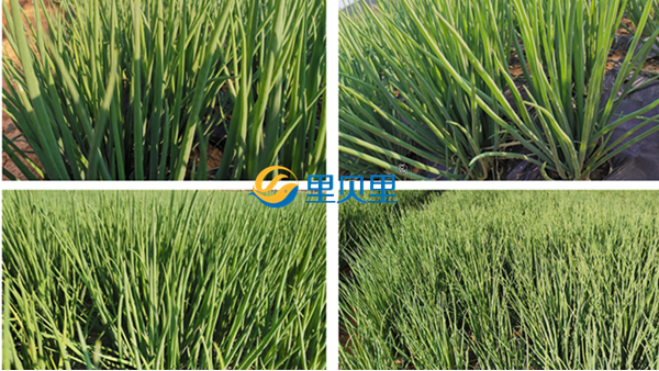 大葱用什么肥料好?大葱生长全期施肥指导