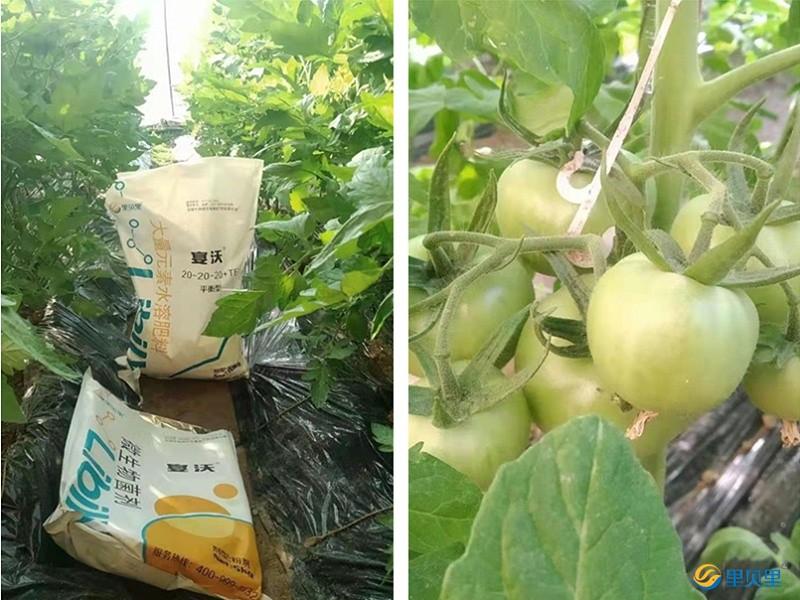 水溶肥在西红柿上使用