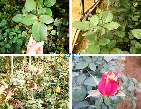 玫瑰花的肥料有哪些?一篇文章就搞定!