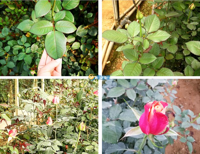 玫瑰花的肥料有哪些