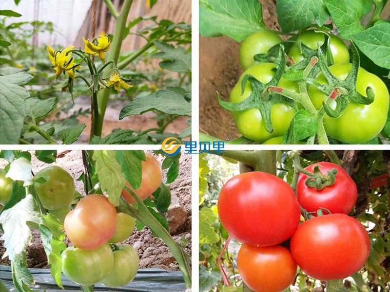 番茄适合什么肥料-宴沃