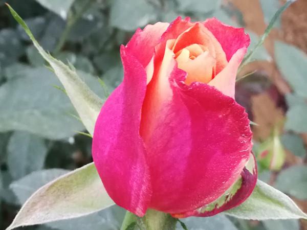 生根剂在玫瑰上怎么用,三分钟带你读懂