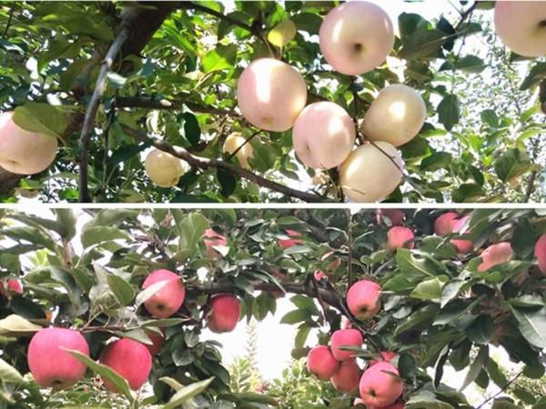 磷酸二氢钾在苹果上转色效果怎么样?