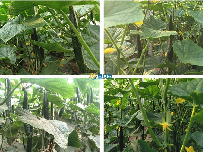 黄瓜不直用什么水溶肥