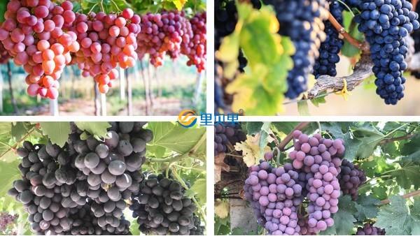 葡萄用什么肥挂果多?高产看这里!
