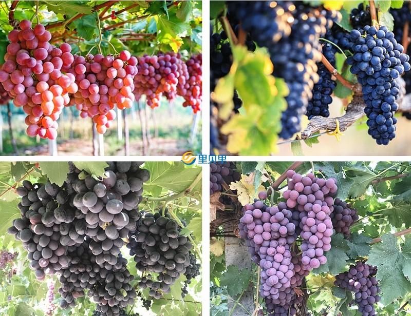 葡萄用什么肥挂果多