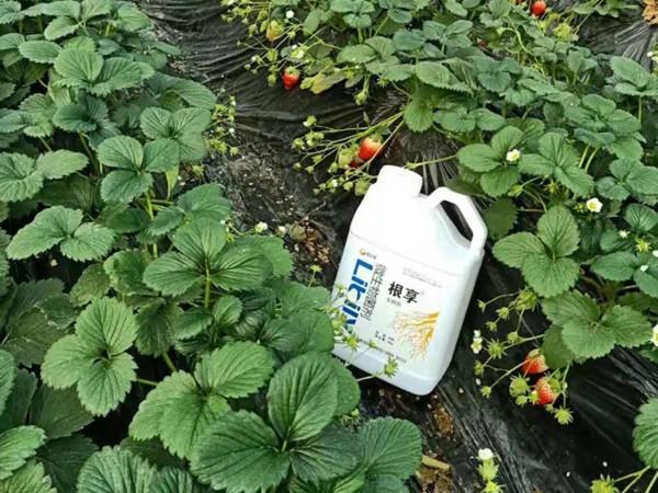 微生物菌剂,张大哥说草莓要用它