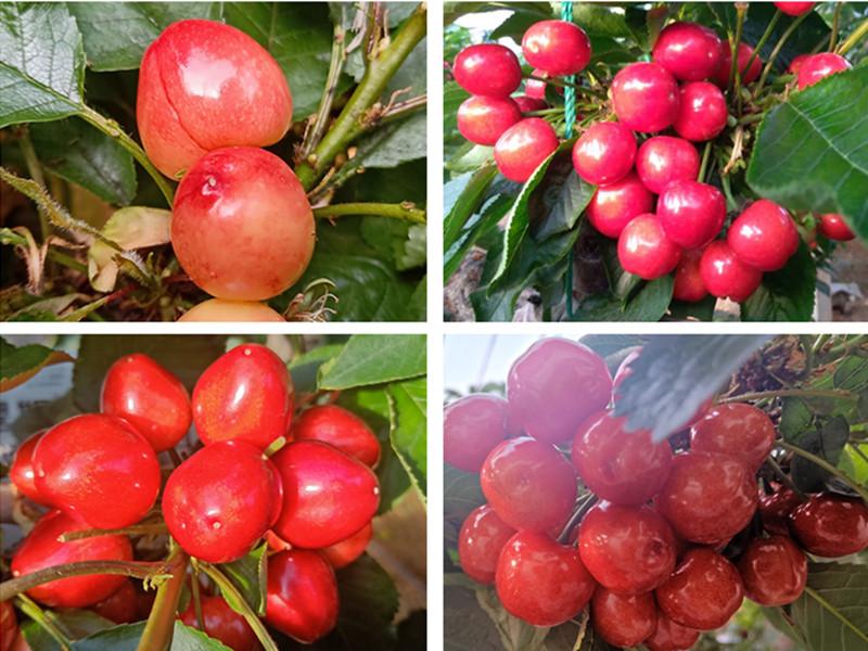大量元素水溶肥料-樱桃