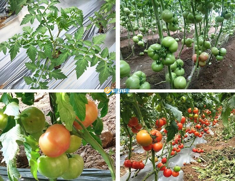 大棚西红柿如何用肥长得好