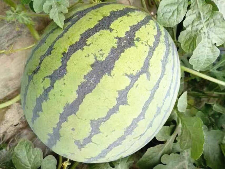 西瓜专用肥