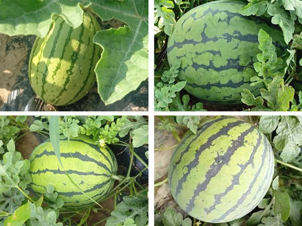 西瓜叶面肥,西瓜高产的秘诀