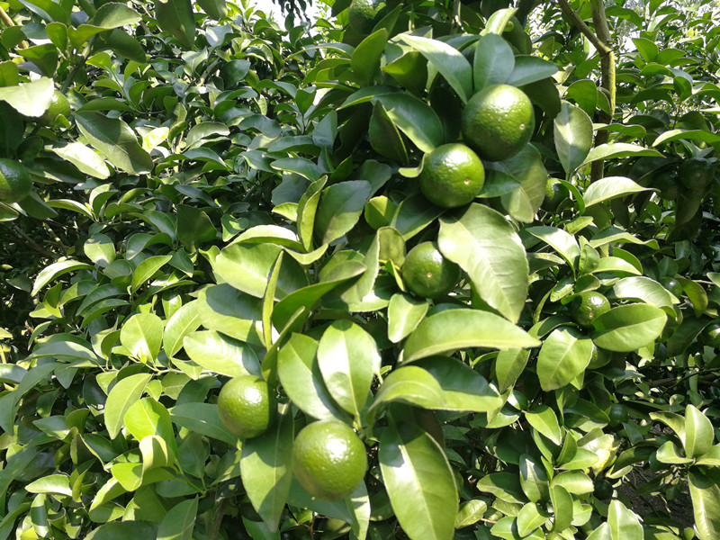 钙肥-柑橘