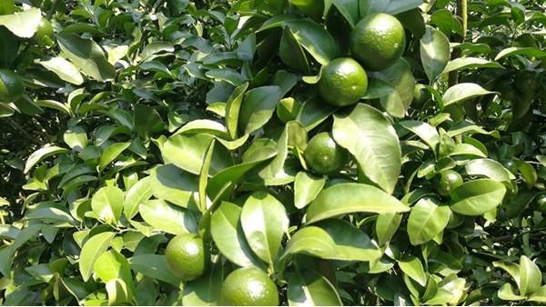 钙肥不可少,才能让柑橘品质好