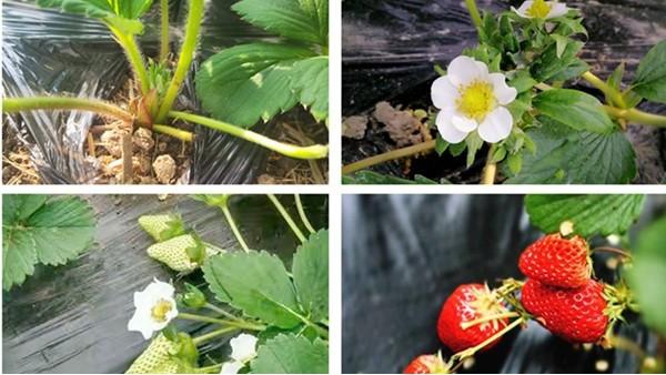 必看!9月草莓施肥方法及注意事项