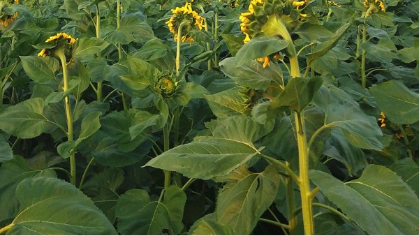 向日葵用什么肥料好,这两点一定要掌握好