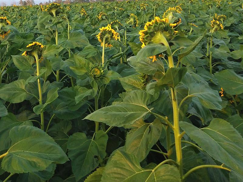 向日葵用什么肥料好