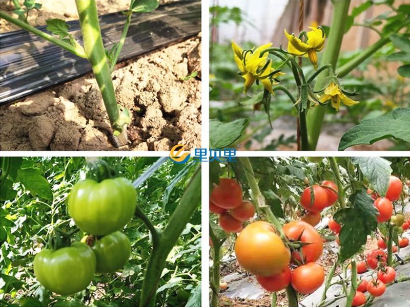 硼肥-番茄