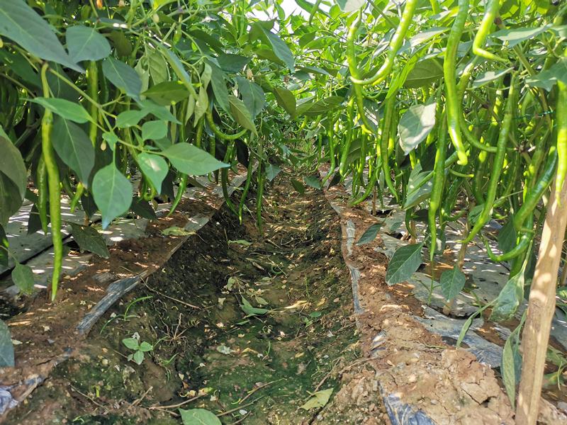 水溶肥宴沃在辣椒上的效果