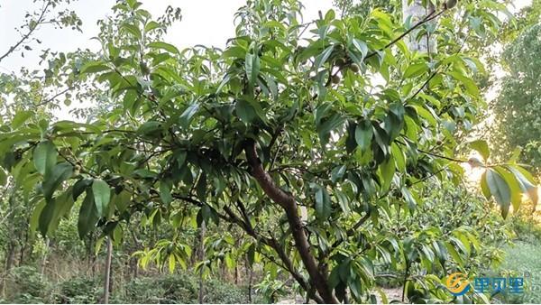 桃树施什么肥好?