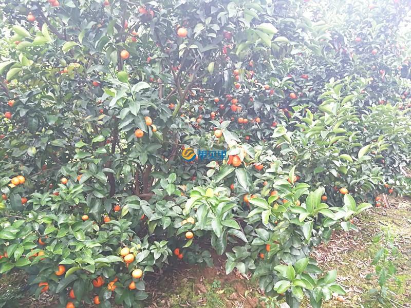 柑橘使用宴沃水溶肥