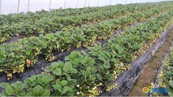 草莓在开花坐果期冲什么肥料?