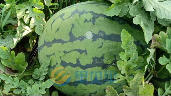 西瓜种植如何管理?