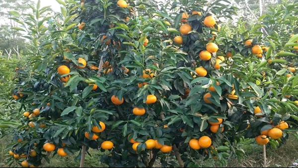 柑橘水溶肥使用注意事项,一定要看!