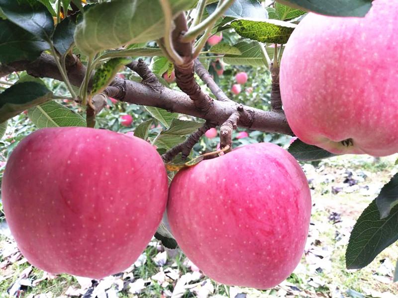 钙肥-苹果
