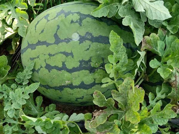 西瓜专用肥,你用对了吗?