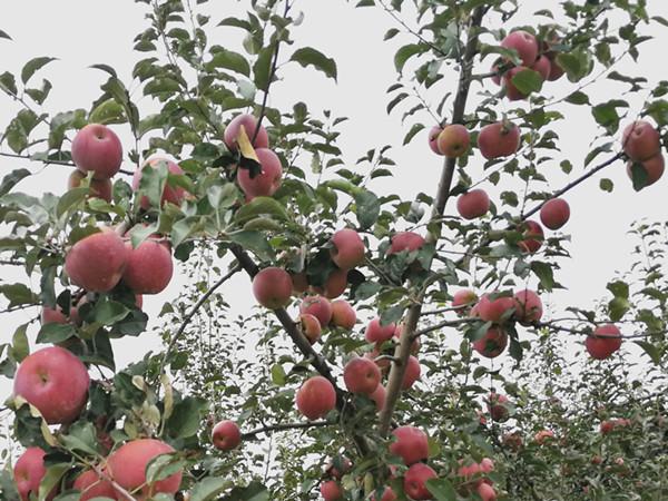苹果专用肥,用了都说好