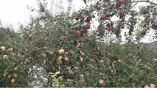 苹果水溶肥的方案与时间,你都了解吗?