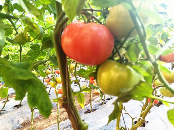 水溶肥哪家好?对蔬菜来说水溶肥越多越好吗?