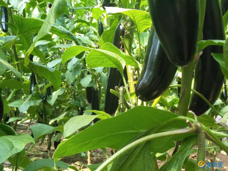 水溶肥宴沃在茄子上使用