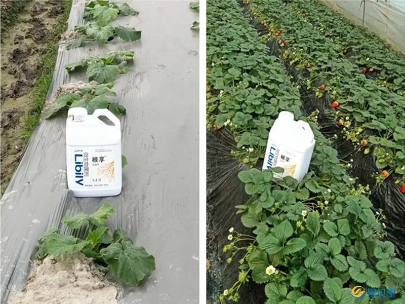 微生物菌剂在作物上使用