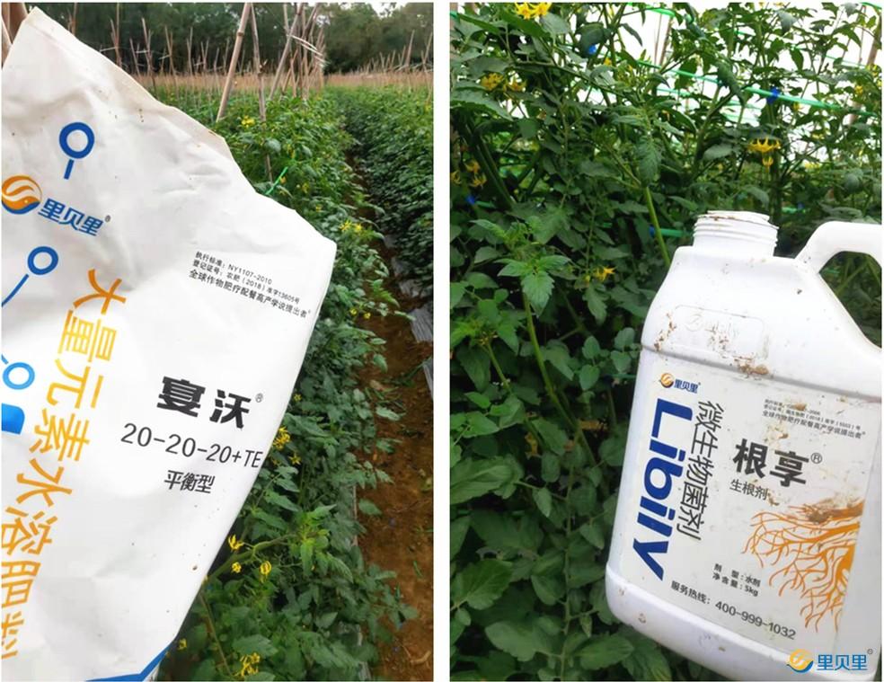 水溶肥宴沃-番茄使用效果