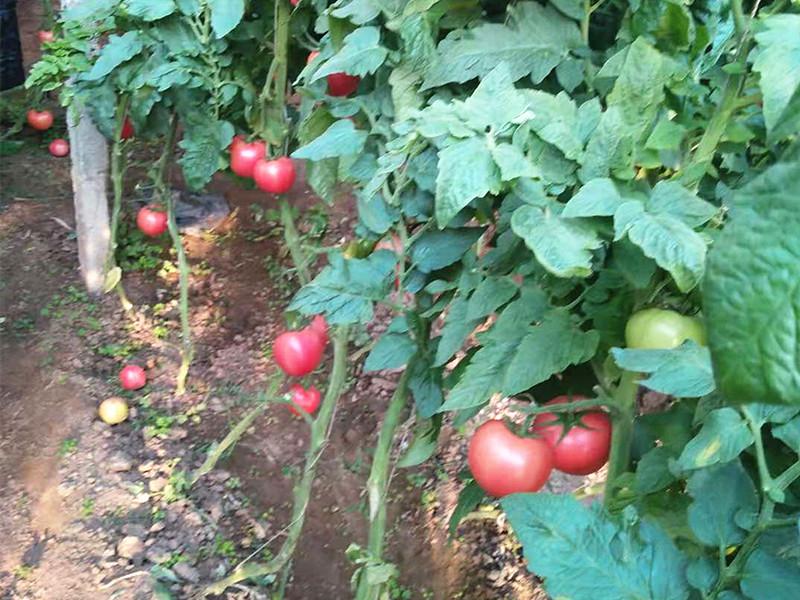 秋施基肥-微生物菌剂在番茄上使用