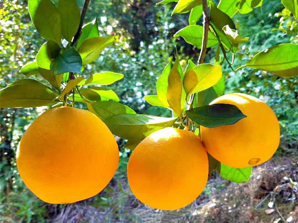 脐橙用什么肥,宴沃带来客户疯狂转介绍